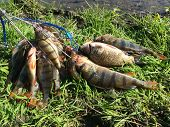 picture of fisherman  - Freshly caught perch - JPG