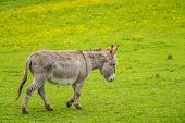 picture of donkey  - Furry donkey on a meadow on a farm - JPG