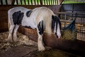 stock photo of horses eating  - Beautiful white horse eating hay in his stable on a farm - JPG