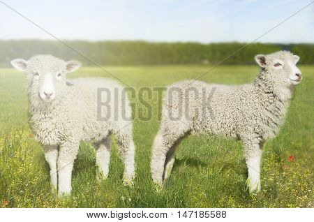 Sheep in field,