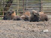 image of aurochs  - European bison rest in troop and bask - JPG
