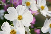White Flower, Thailand
