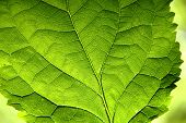 Green Leaf in close up view