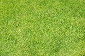 Green grass background (Golf field)