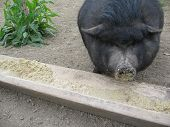 Black Pig Eating