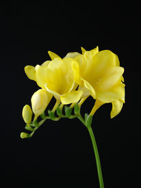 pic of single flower  - A single stem of yellow freesia on a black background  - JPG