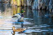 Drake Duck Closes His Wings After Spreading Them And Female Mallard Duck, Blurred, Swims In Front Of poster