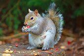 Squirrel eating peanuts