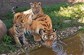 image of tiger cub  - Two little tiger cubs playing while the mother is drinking - JPG