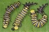 Monarch Caterpillar Shedding
