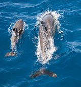 Common Dolphins, Bay of Islands, New Zealand
