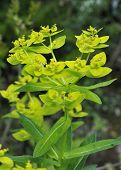 Irish Spurge