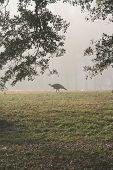 foto of wild turkey  - a wild turkey on a foggy morning - JPG