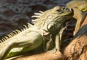 Green Iguana On A Tree Branch At The Zoo