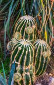 Clustered Golder Barrel Cactus, Endangered Tropical Plant Specie From Mexico poster