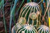 Closeup Of A Clustered Golden Barrel Cactus, Endangered Tropical Plant Specie From Mexico poster