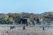 A Large Herd Of African Elephants -loxodonta Africana- Walking Decisively Towards A Waterhole. Etosh poster