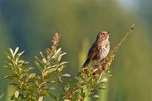 Song Sparrow no ramo