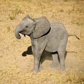 foto of unnerving  - elephant calf in the National Wildlife Reserve in South Africa - JPG