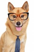 picture of laika  - Finnish spitz dog (Karelian Finnish laika). 