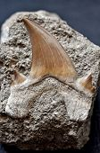 Fossil Shark Tooth