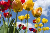 Red And Yellow Tulips With Sunny Sky In Background poster
