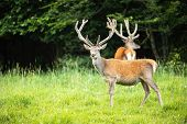 Red Deer Herd With Stags Standing On A Meadow With Green Grass In Summer. poster