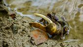 Closeup Portrait Of A Male Fiddler Crab With A Huge Claw, Tropical Crustacean Specie poster