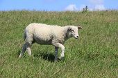 A Lamb Runs On A Dike On The Island Of Sylt