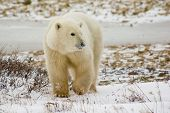 stock photo of youg  - Youg polar bear migrating to seal hunting grounds in Hudson - JPG