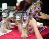 Beautiful Yorkshire terrier getting his hair cut at the groomer