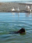 Swans At Sea