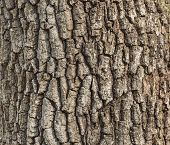 stock photo of termite  - Old oak tree bark for natural textured background - JPG