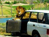 Lion On Jeep