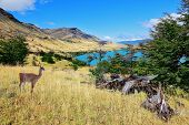 Cold summer in Chile. National park to Torres del Paine - a graceful rack wild guanacos on the river