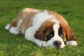 Adorable Saint Bernard Purebred Puppy