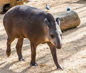 Tapir walking in a zoo