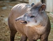 Close-up shot of a tapir