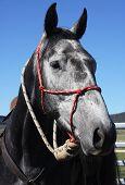 Australian Horse In The Bush