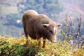 stock photo of pot bellied pig  - a pot bellied pig in the mountains near Sapa in Vietnam - JPG