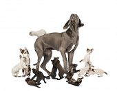 Great Dane standing in the middle of cats playing - isolated on white