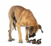 Great Dane looking at a kitten lying on its back and attacking, isolated on white