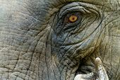 Close up on Asian elephant eye and skin