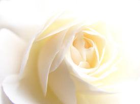 stock photo of rose flower  - close - JPG