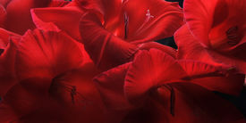 pic of gladiola  - Close up of red gladiolas petals with black background - JPG