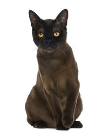 image of american bombay  - Bombay cat sitting and looking at the camera - JPG