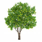 Citrus fruit tree isolated. lemon