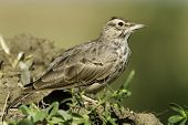 Crested Lark close-up / Galerida cristata
