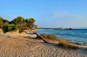 Bent Tree On A  Beach
