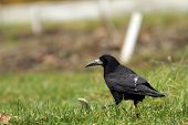 Black Crow In The Field